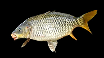 Pesca de Carpa (Cyprinus carpio)