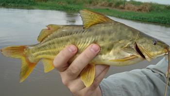 Pesca de Bagre amarillo