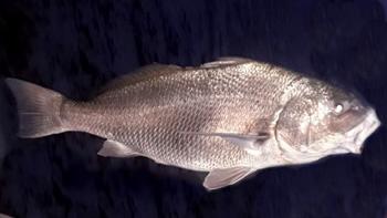 Pesca de Corvina negra