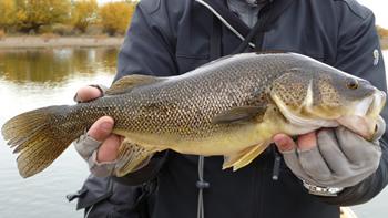 Pesca de Perca