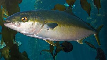 Pesca de Pez limón
