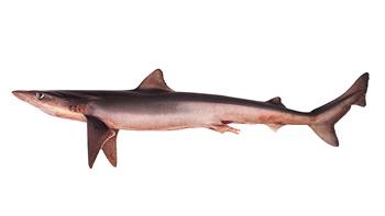 Pesca de Tiburón cazón