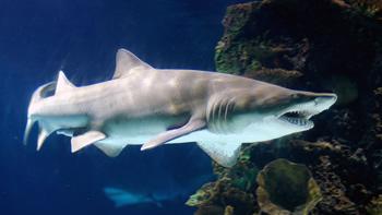 Pesca de Tiburón escalandrún