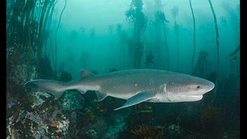 Pesca de Tiburón gatopardo