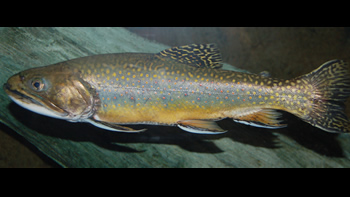 Pesca de Trucha de arroyo